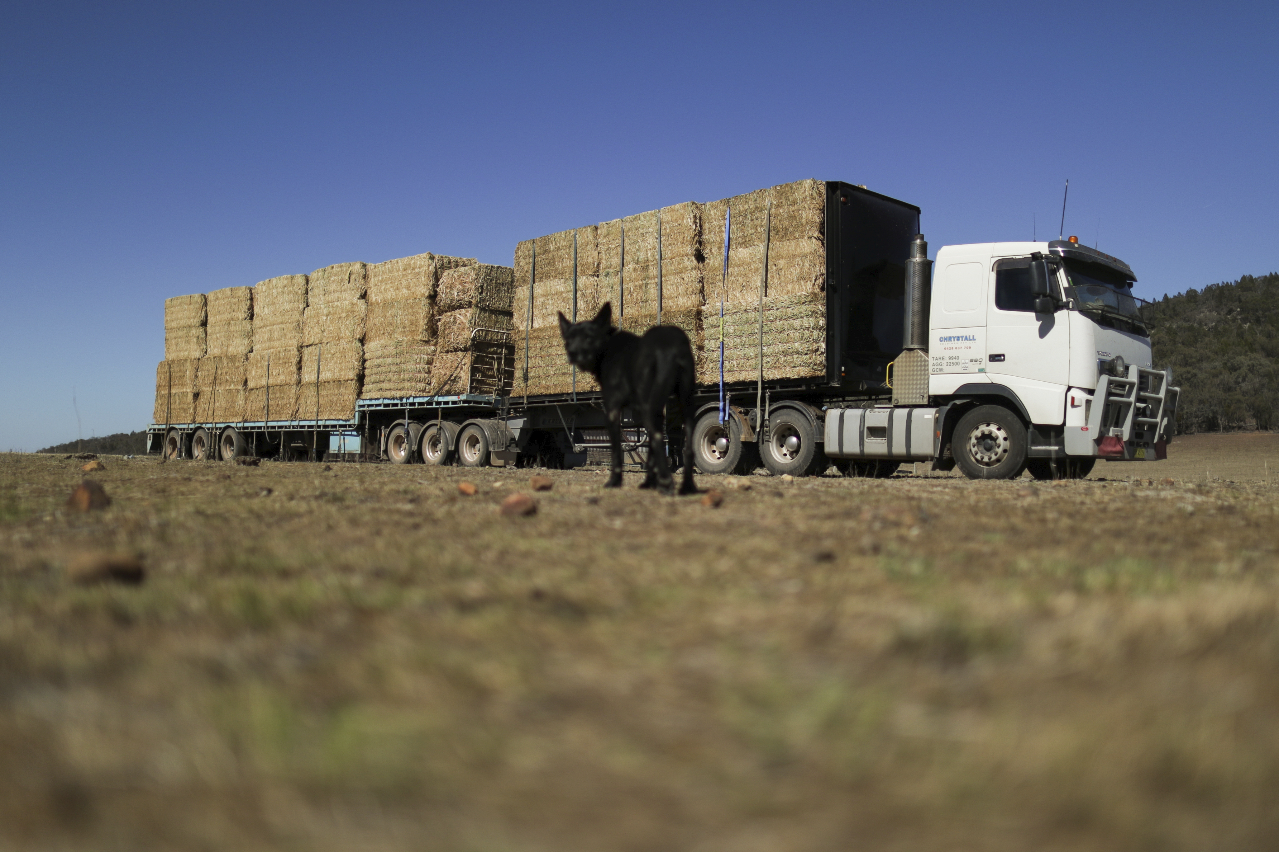 A truck delivers hay to Rob Lee's property as his dog Monty looks on, at Larras Lee in central west NSW.  Photo: Alex Ellinghausen Thursday 7 November 2019. (AFR for Tom McIlroy)