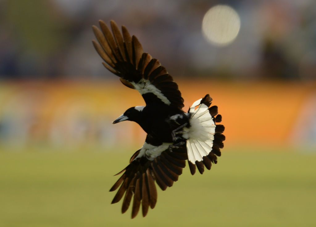 Magpies swoop to ward of threats to their chicks.