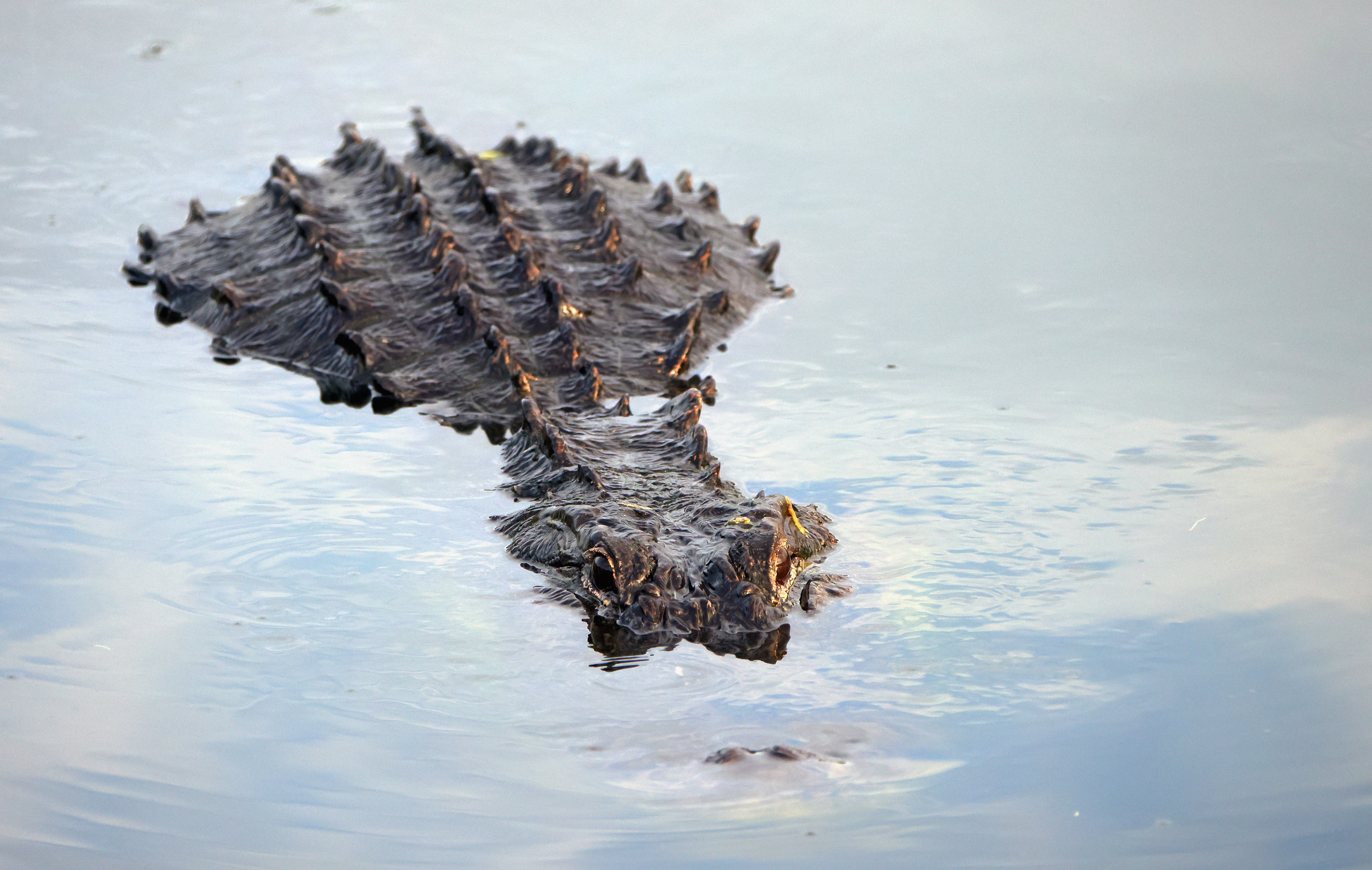 DELRAY BEACH, FLORIDA - JULY 09: An alligator navigates the waterway at the Wakodahatchee Wetlands on July 09, 2021 in Delray Beach, Florida. (Photo by Bruce Bennett/Getty Images)