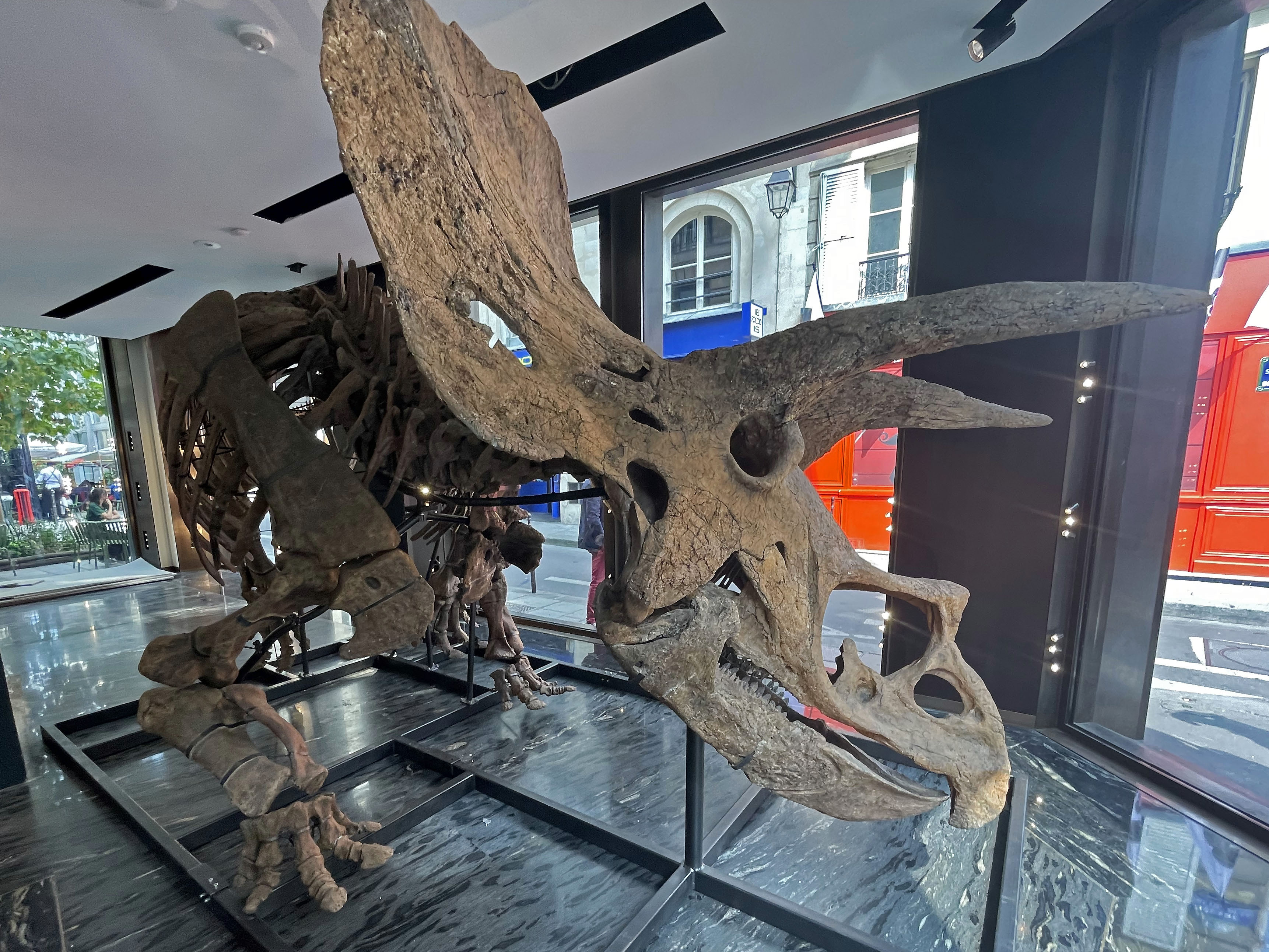 The skeleton of 'Big John' has a skull of has a skull 2.62 metres long.