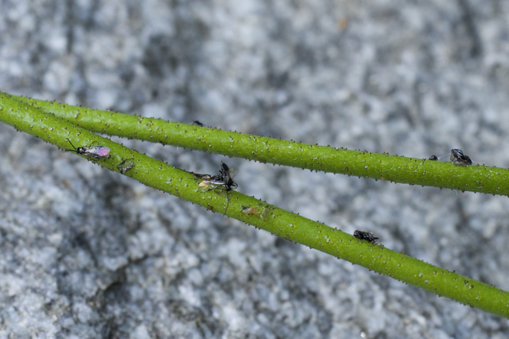 Triantha occidentalis has an uptick in nitrogen, meaning it absorbes the element from the flies.