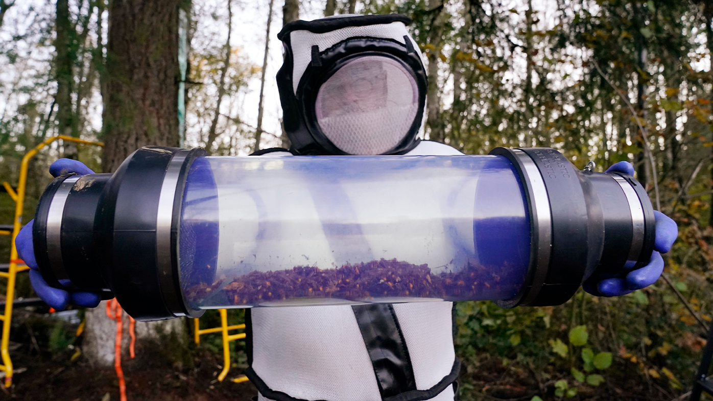Sven Spichiger displays a canister of Asian giant hornets vacuumed from a nest in a tree behind him in Blaine, Washington.  (AP Photo/Elaine Thompson, File)