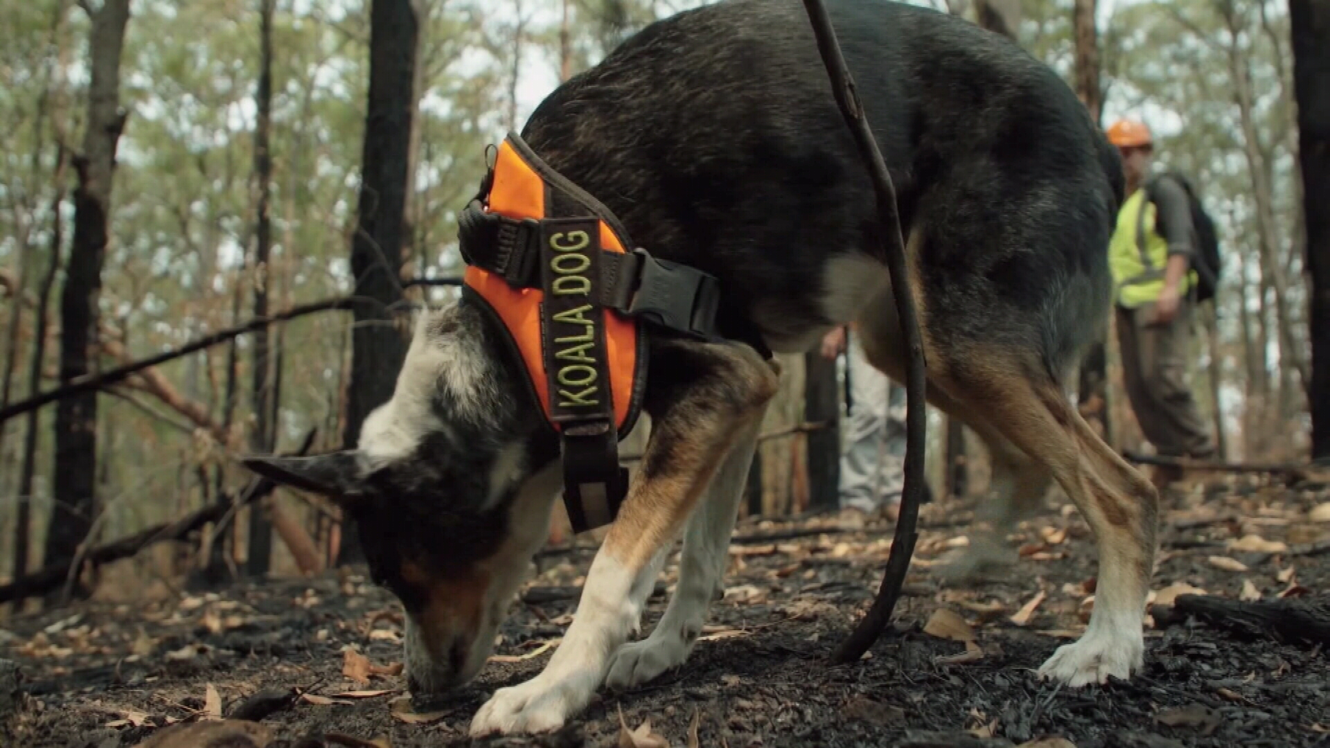 The pup is a specially trained sniffer dog who can track the koalas' scents, primarily through their scat (droppings).