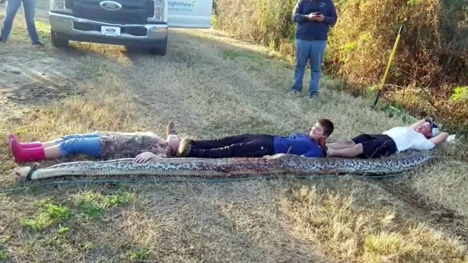 Florida giant python