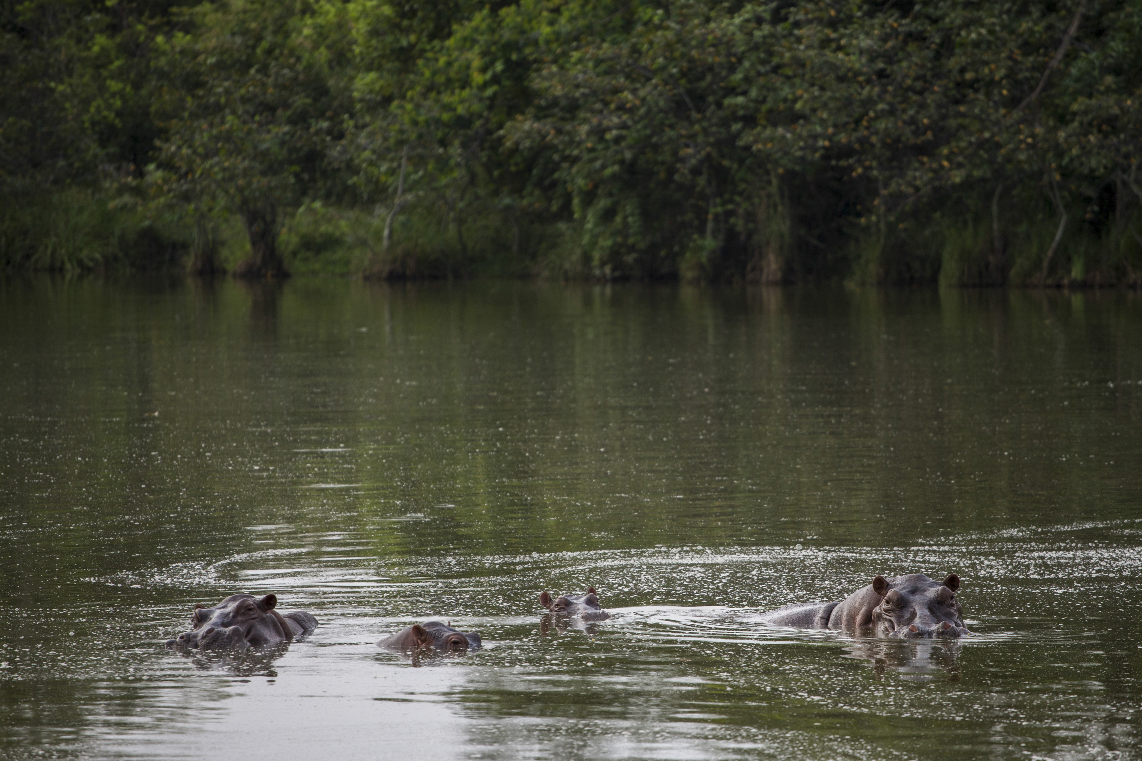 Hippos stay submerged in the lake at the Napoles Park in Puerto Triunfo, Colombia.