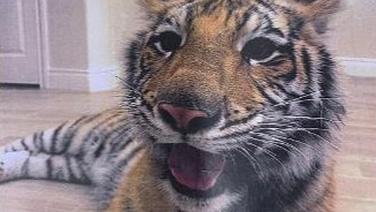 Tiger last seen in US city last Sunday still missing, police say.