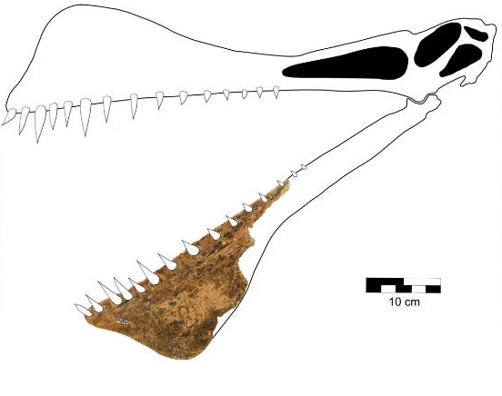 This graphic is a reconstruction of the skull of Thapunngaka shawi.