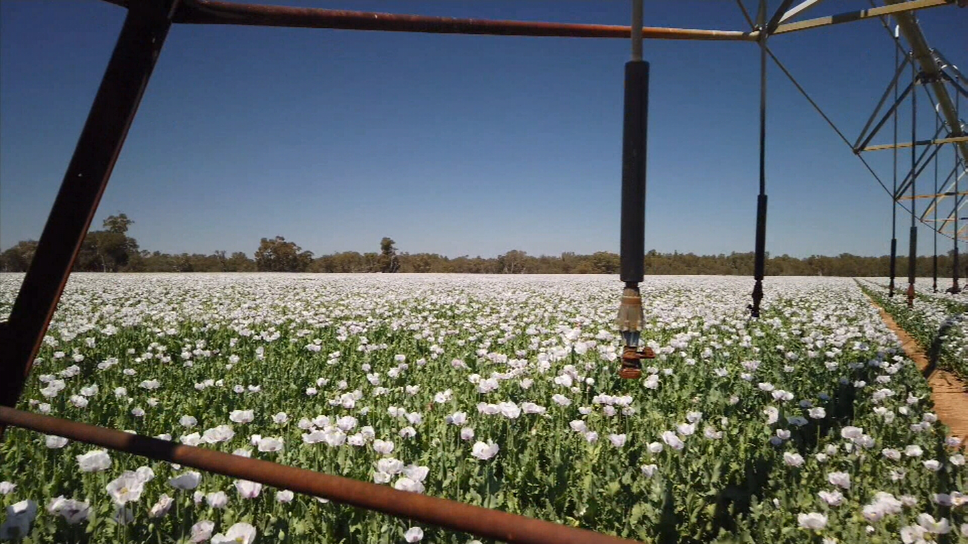 Inside the secretive poppy farms producing opiates for the world