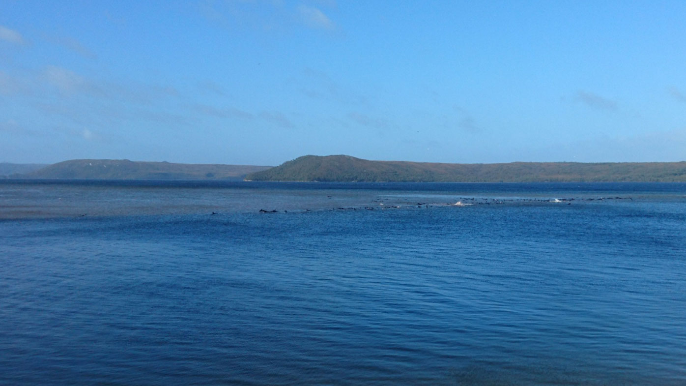 Hundreds of whales stranded in Tasmanian harbour