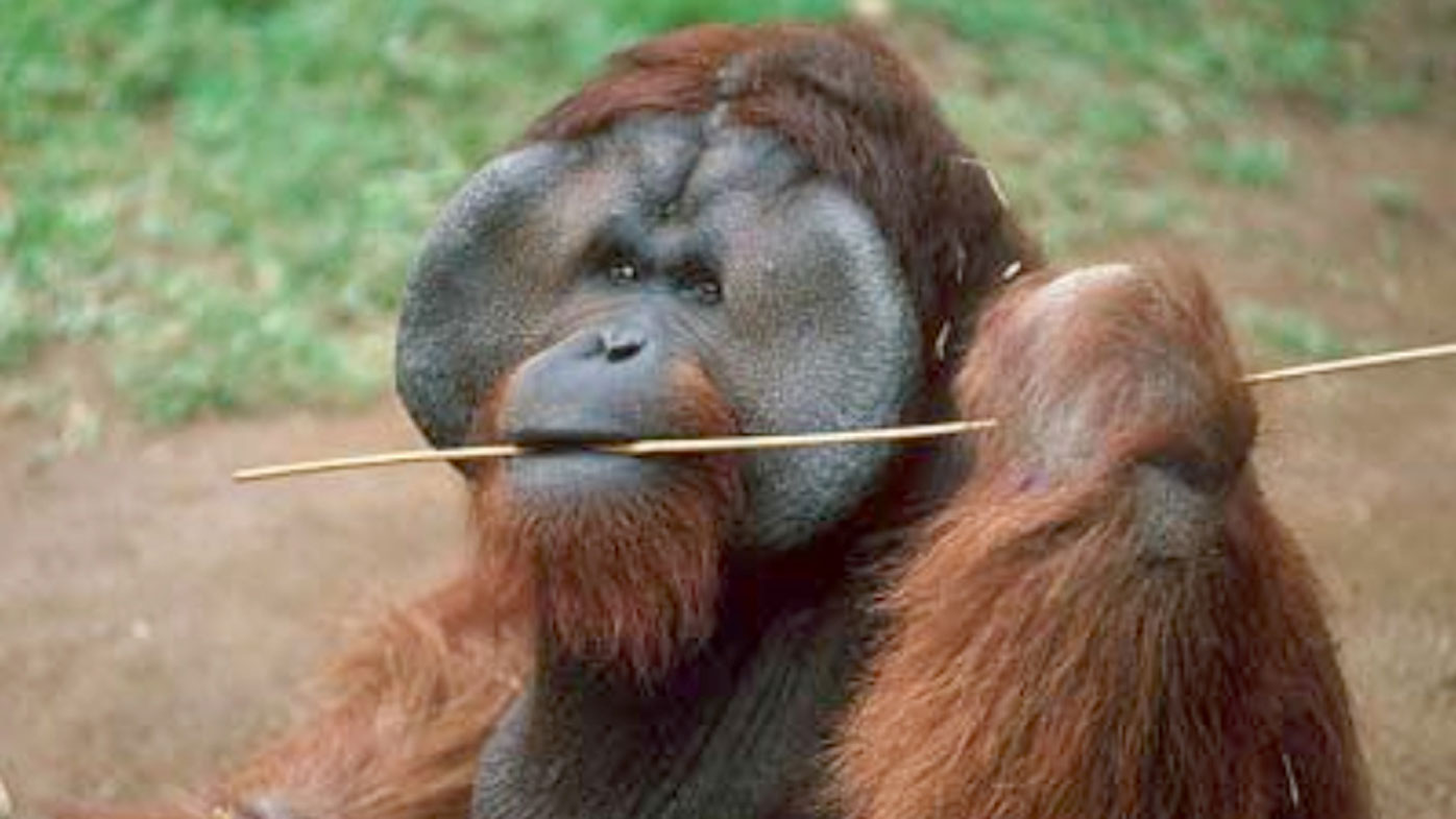 Ken Allen escaped from his enclosure at San Diego Zoo numerous times.