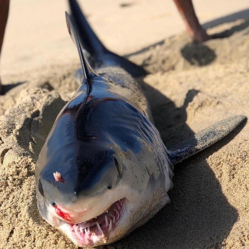 Mako shark killed by unlikely foe