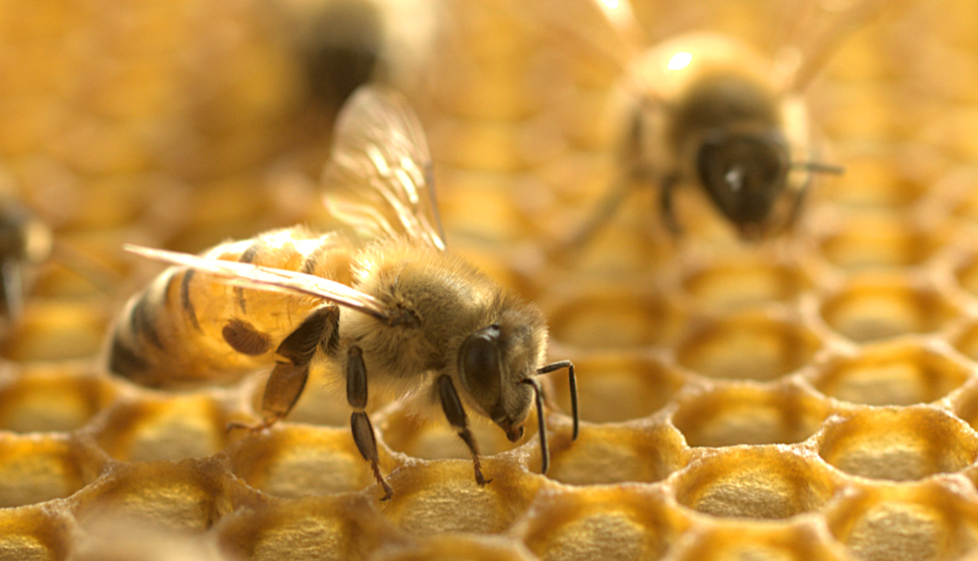 Gone in 60 minutes: Honeybee venom kills cancer cells in one hour
