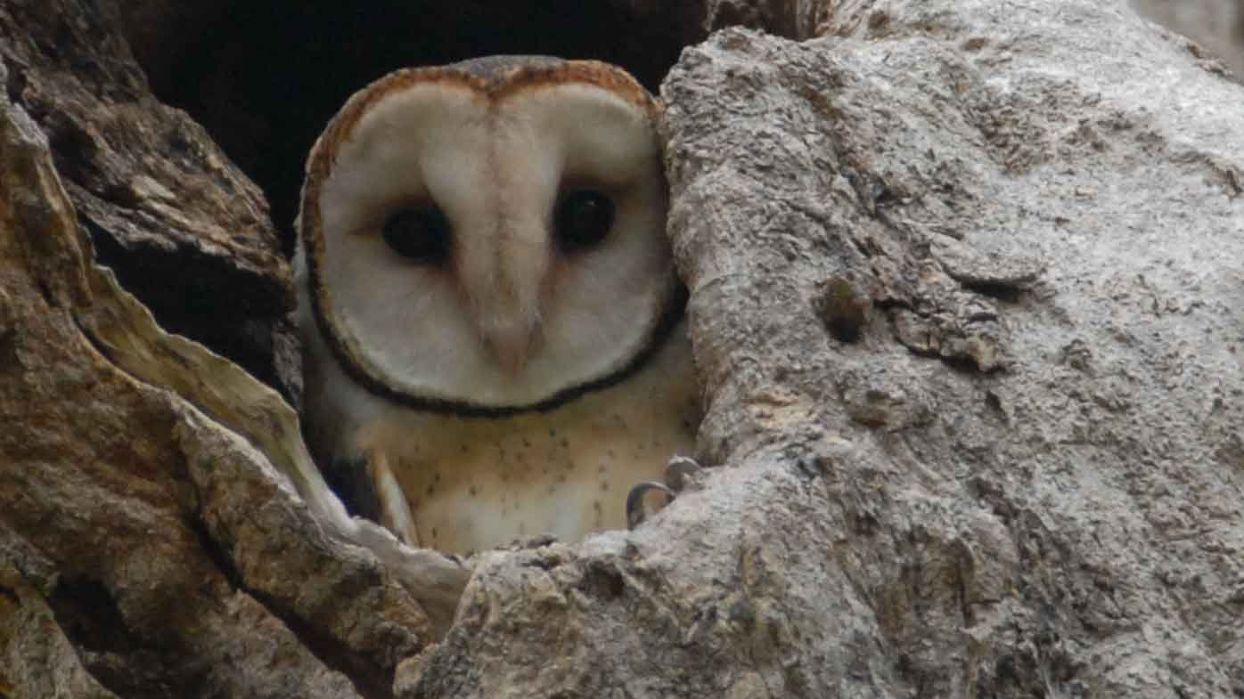 Masked owls could die from eating poisoned mice.