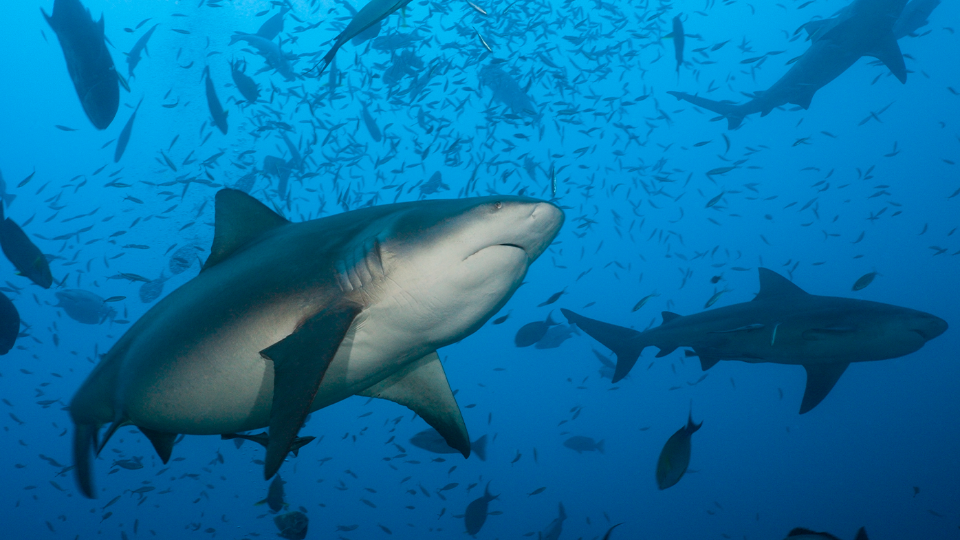 Bull sharks favour murky waters to hunt and can swim in both fresh and salt water.
