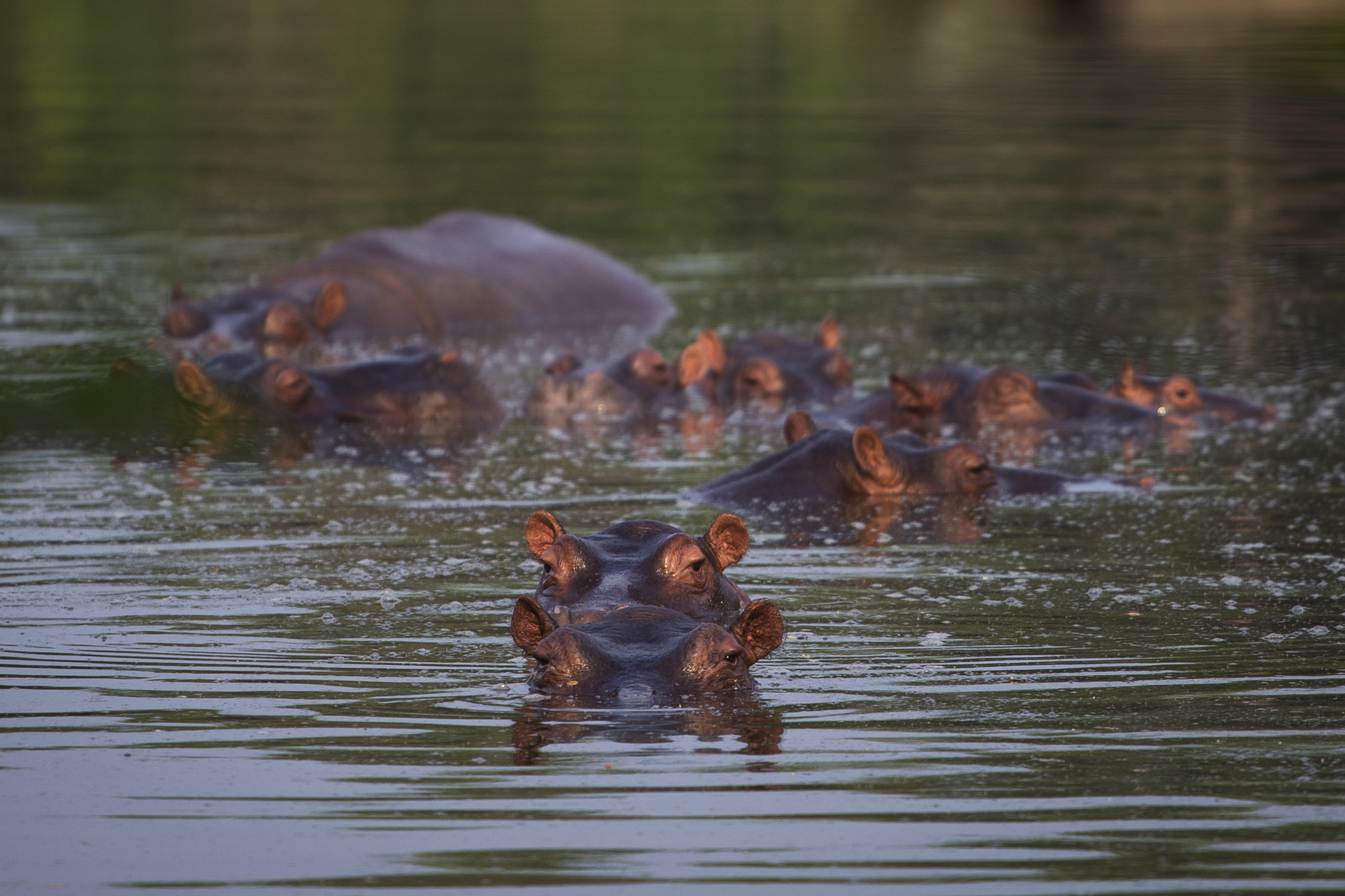 The hippos were originally brought to Colombia by the late drug baron Pablo Escobar as part of his personal zoo.