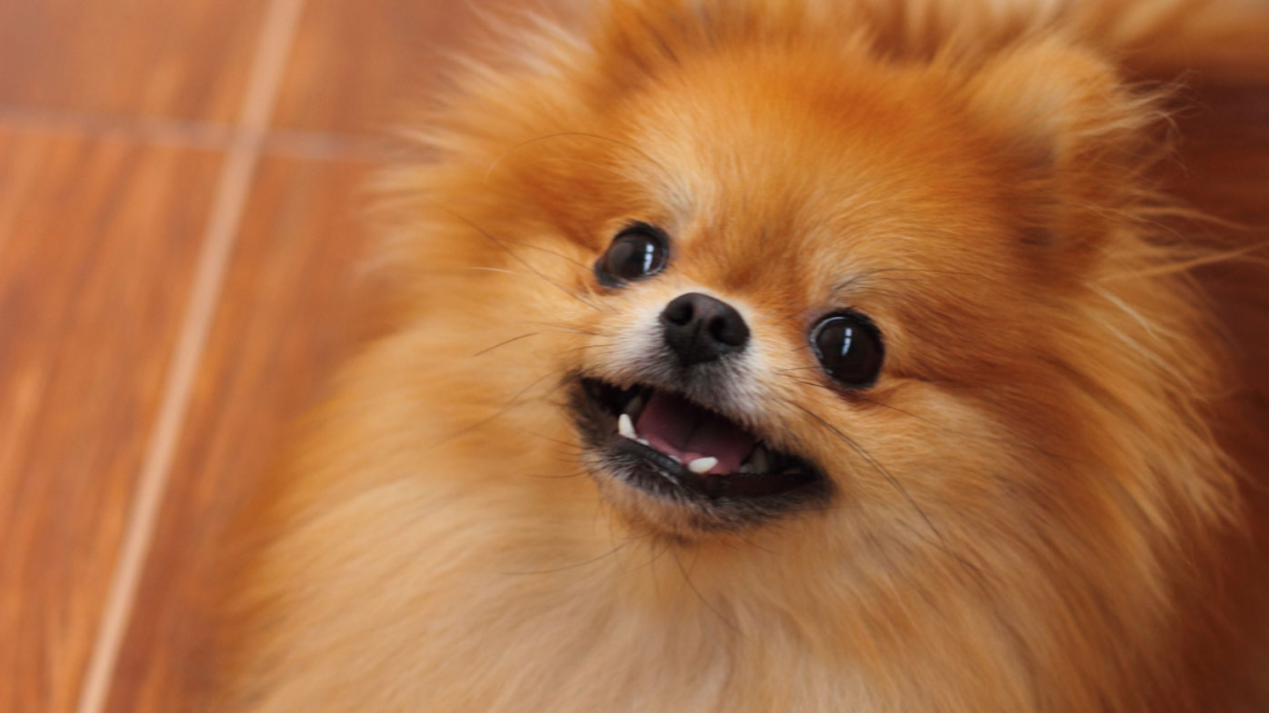 Pet Pomeranian allegedly killed during robbery in Sydney's west