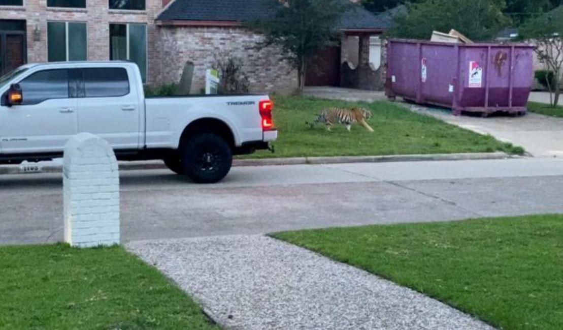 Houston Tiger