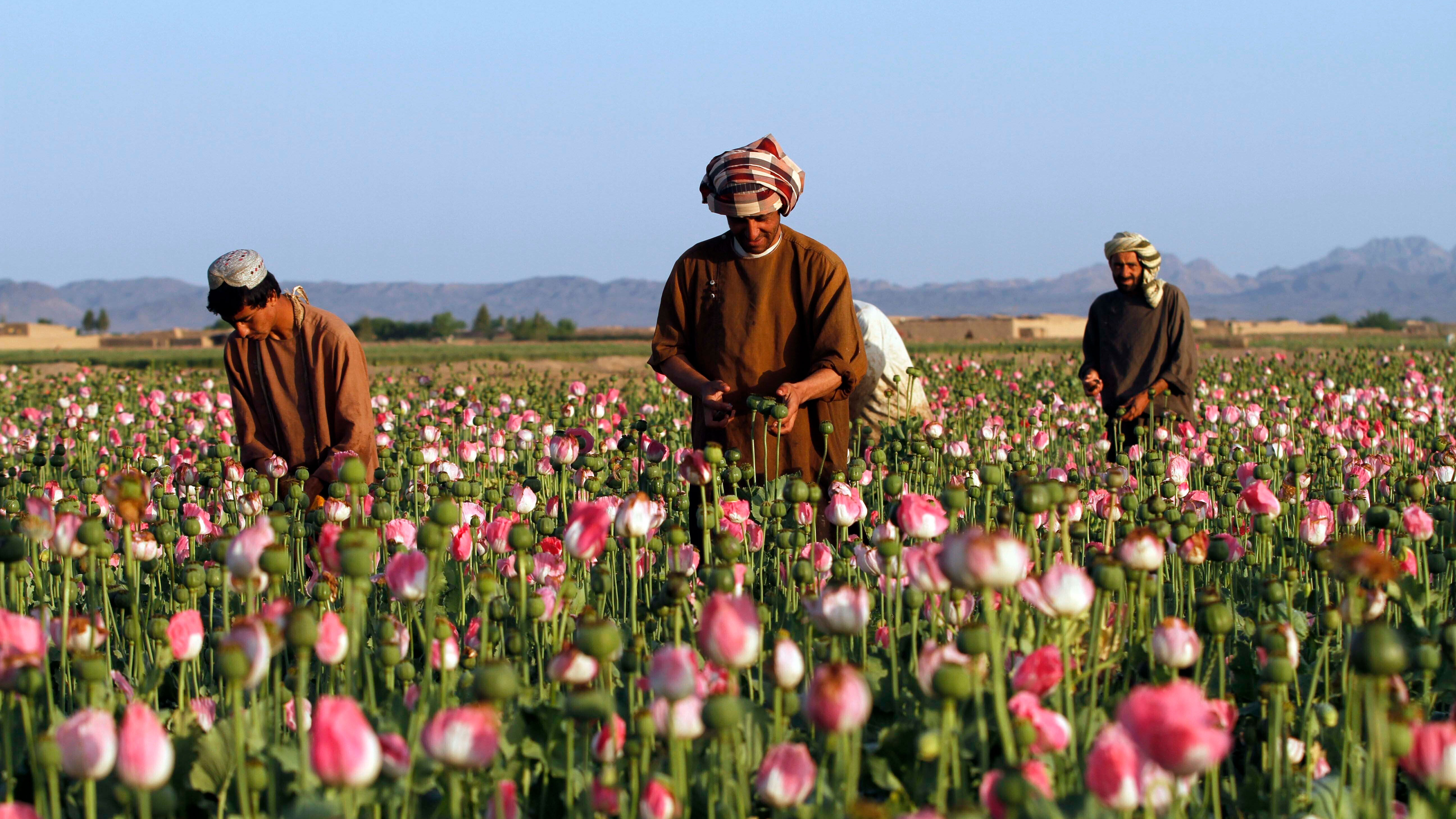 Farmers harvest raw opium at a poppy field in the Zhari district of Kandahar province, Afghanistan, in 2016.