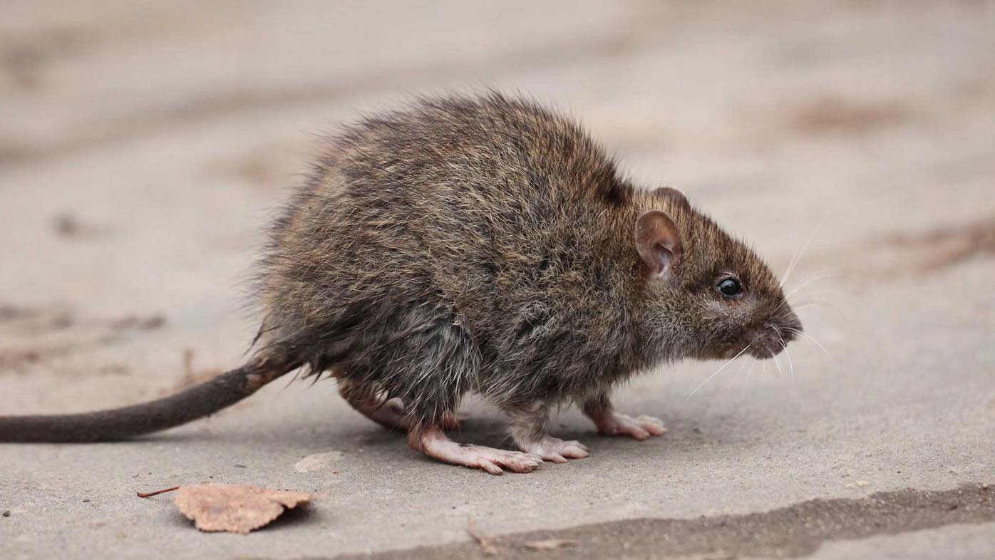 Rats are infecting humans with hepatitis