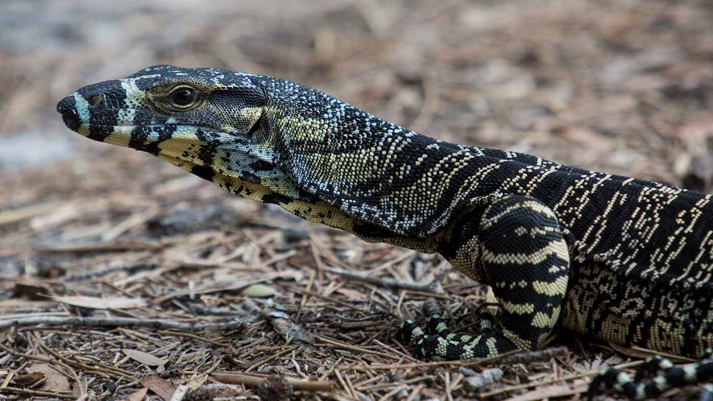 Goannas are another animal that feasts on mice.