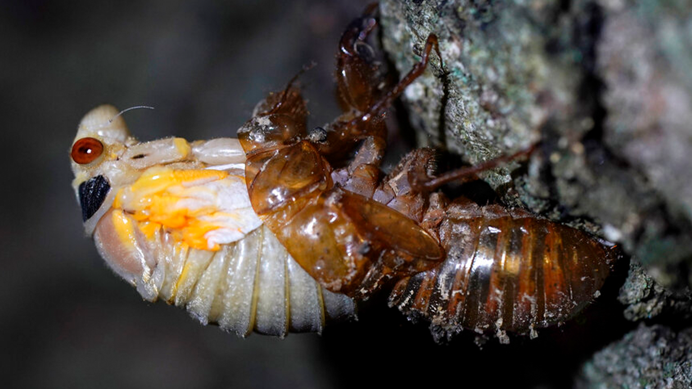 Trillions of red-eyed cicadas about to emerge after 17 years underground