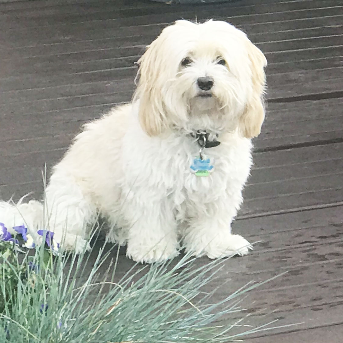 Eight-year-old poodle cross shih tzu, Teddy, was killed in the attack.