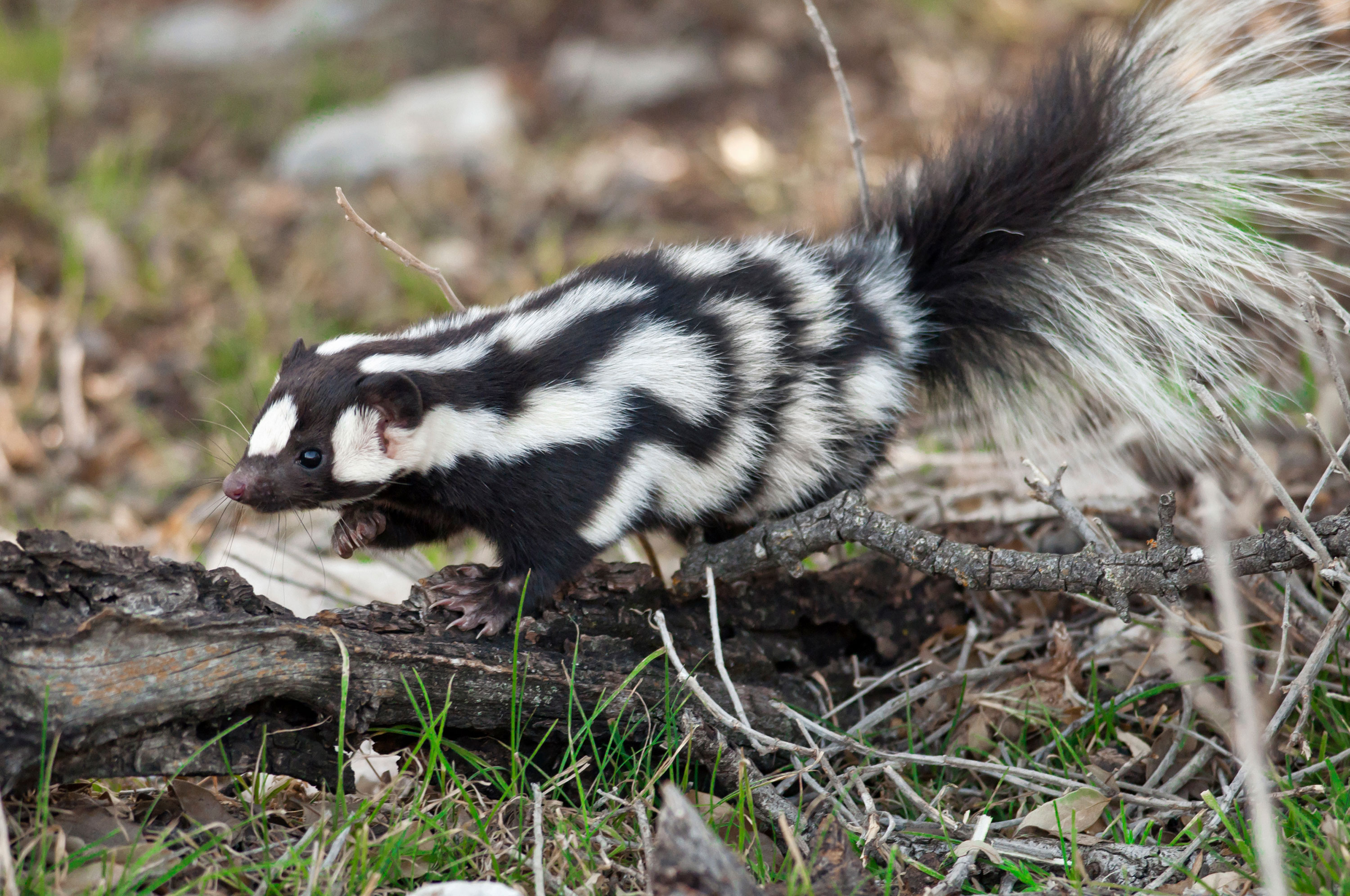 There are more spotted skunks than previously believed, according to new research.