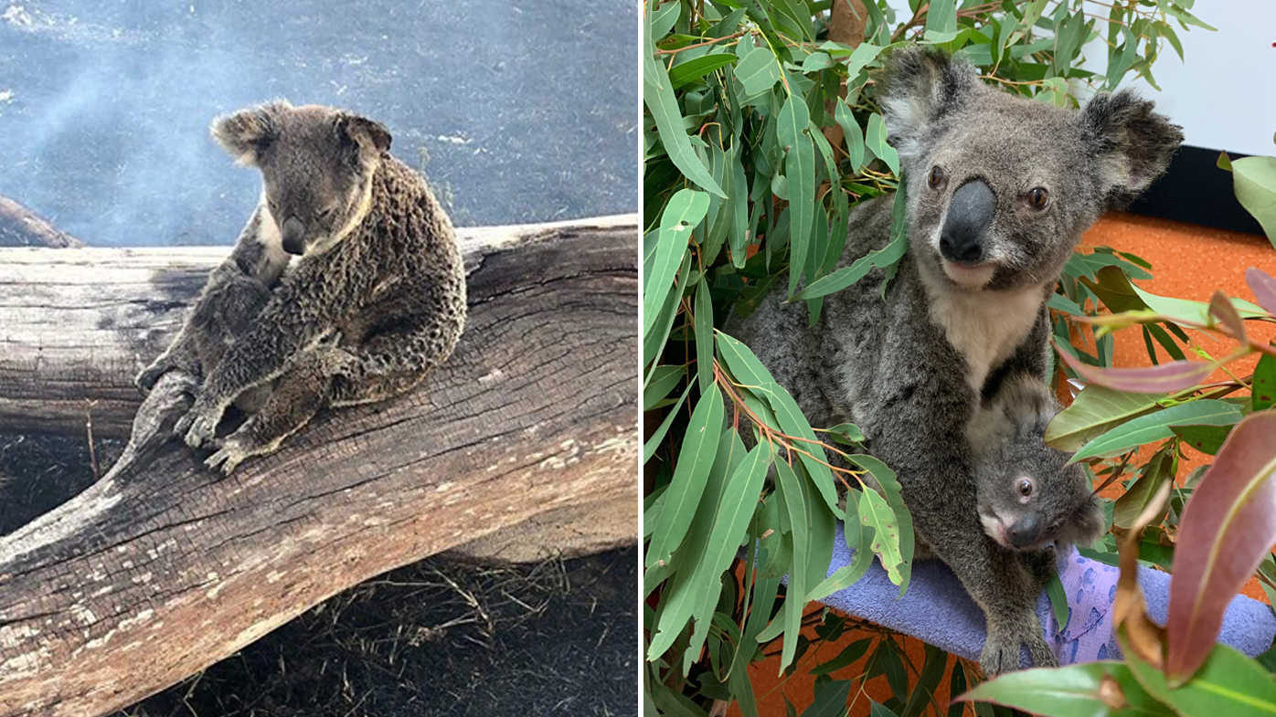 This koala and her joey were found safe after the fire at Canungra, in the Gold Coast hinterland.
