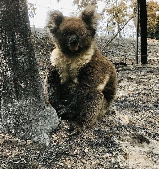 More than 60,000 koalas among three billion animals impacted during Australia's 'Black Summer'