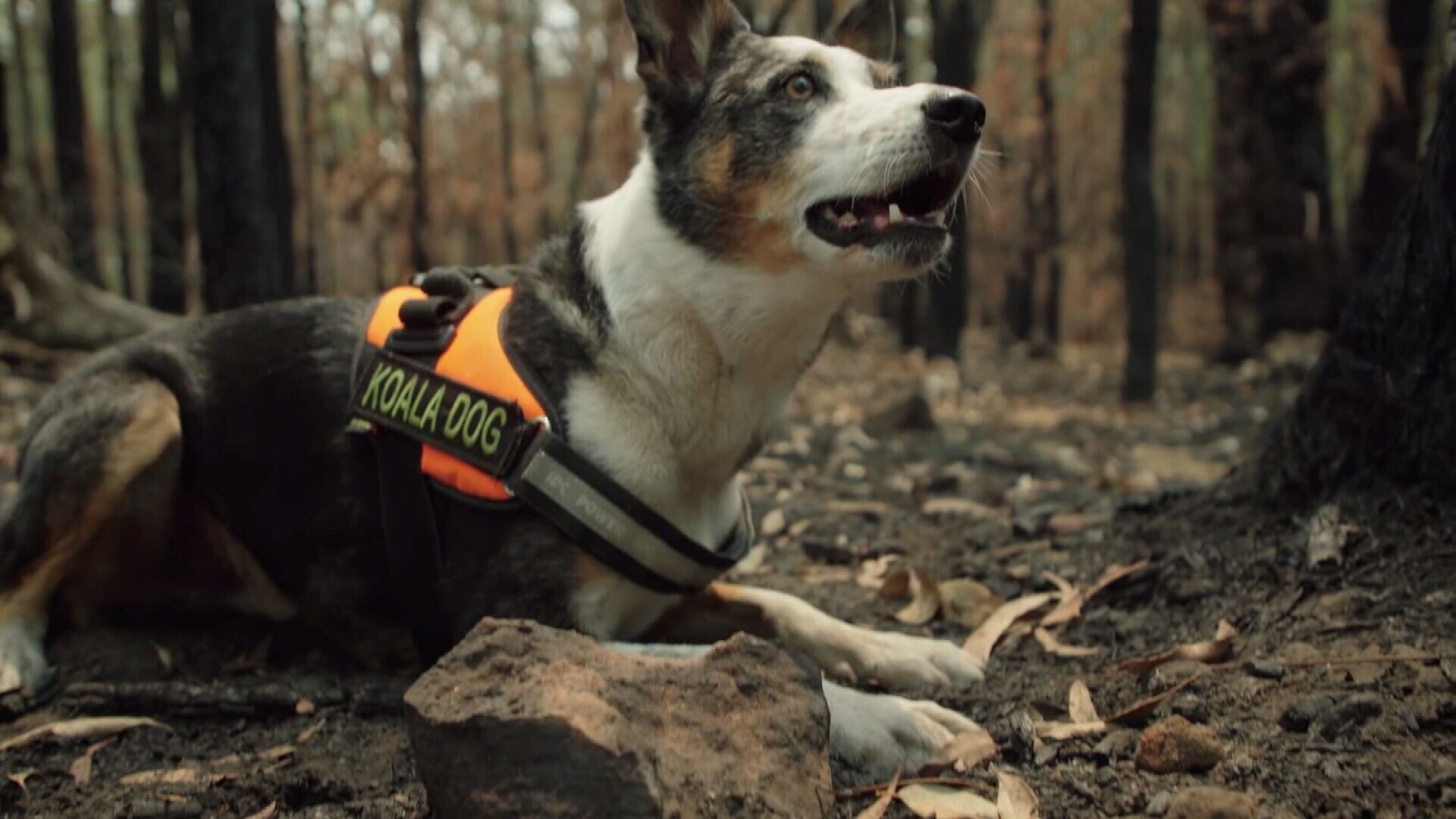 """Animal rescuers in the NSW Blue Mountains are getting help from a specially trained dog named """"Smudge""""."""