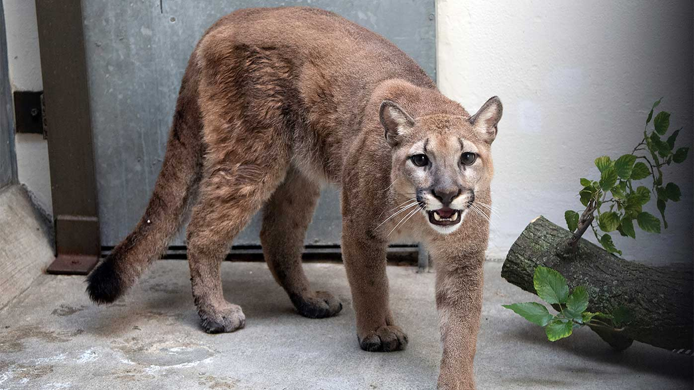 This cougar was living illegally in an apartment in New York City.