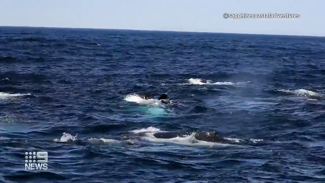 The whales have been gathering for about three days, about 37 kilometres from the New South Wales south coast.