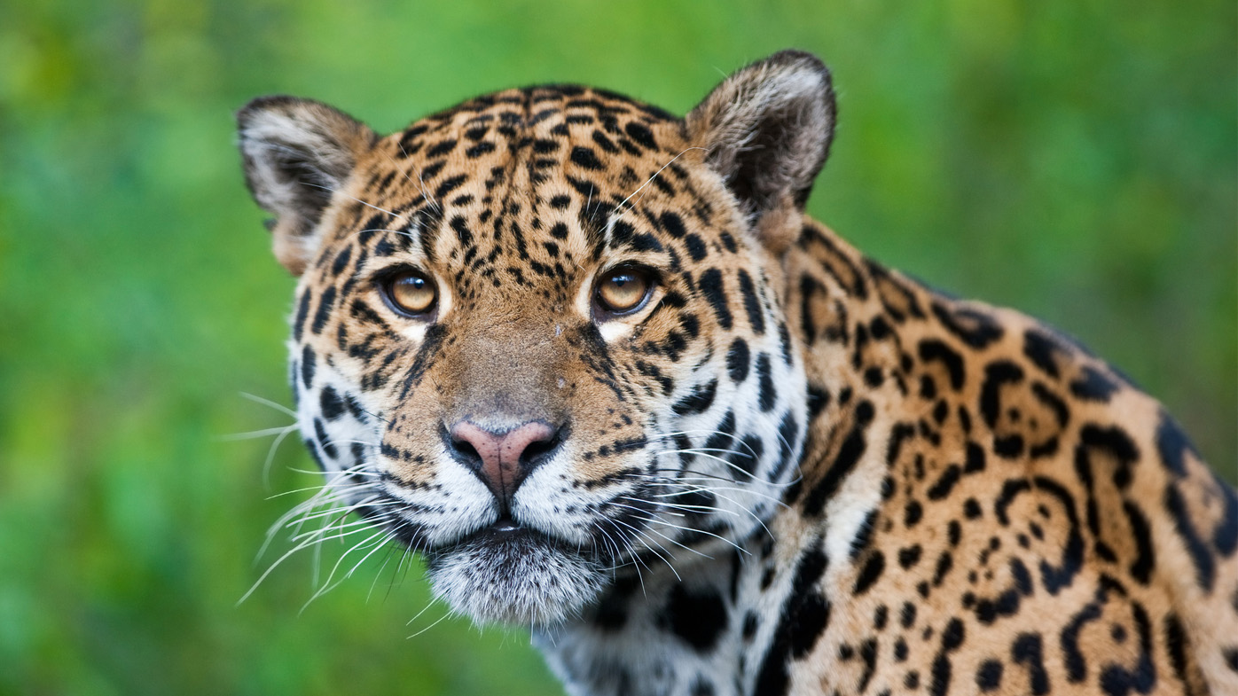 Man injured by jaguar after crossing zoo barrier