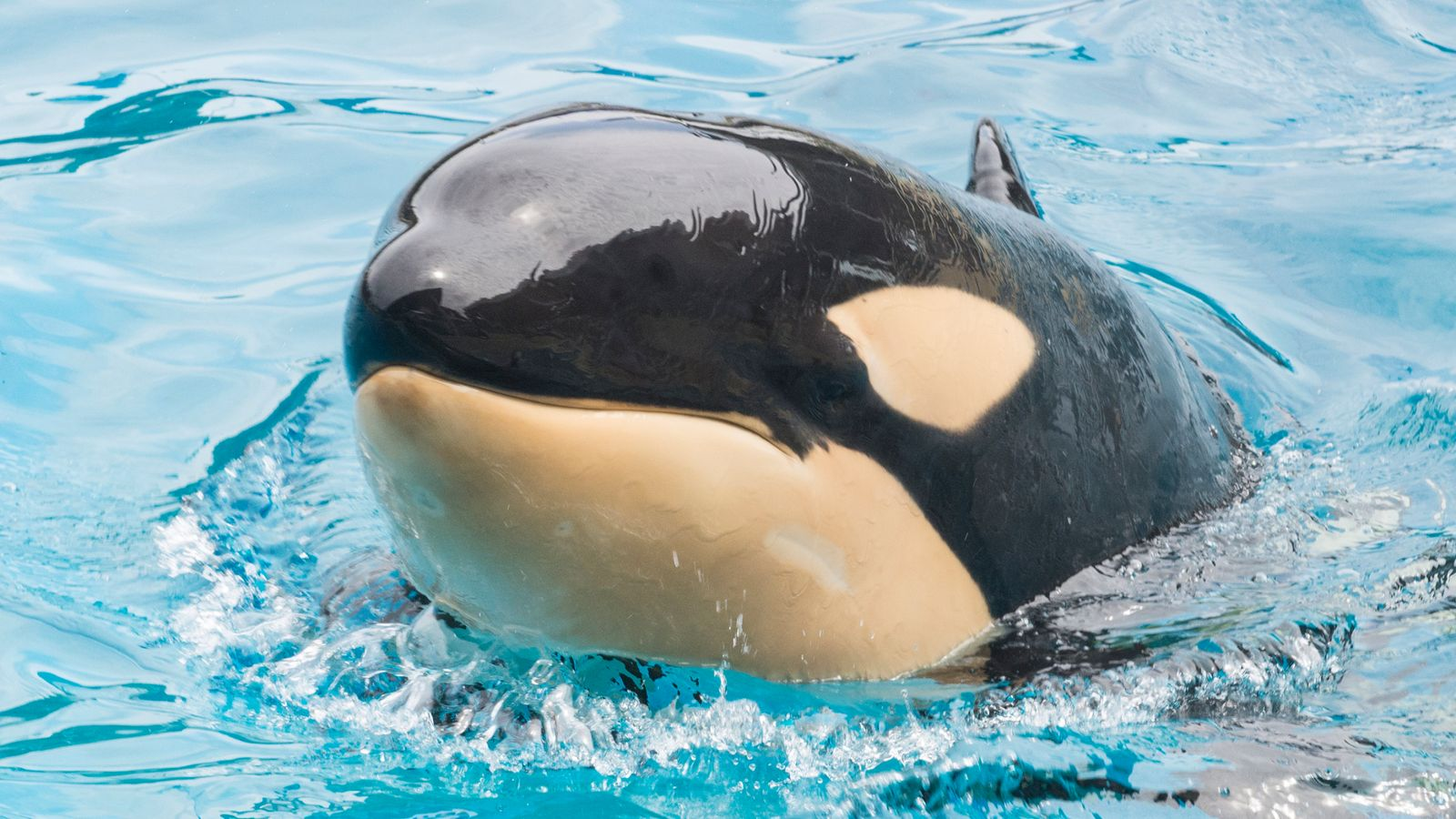 Amaya the Orca died at Sea World San Diego in the US.