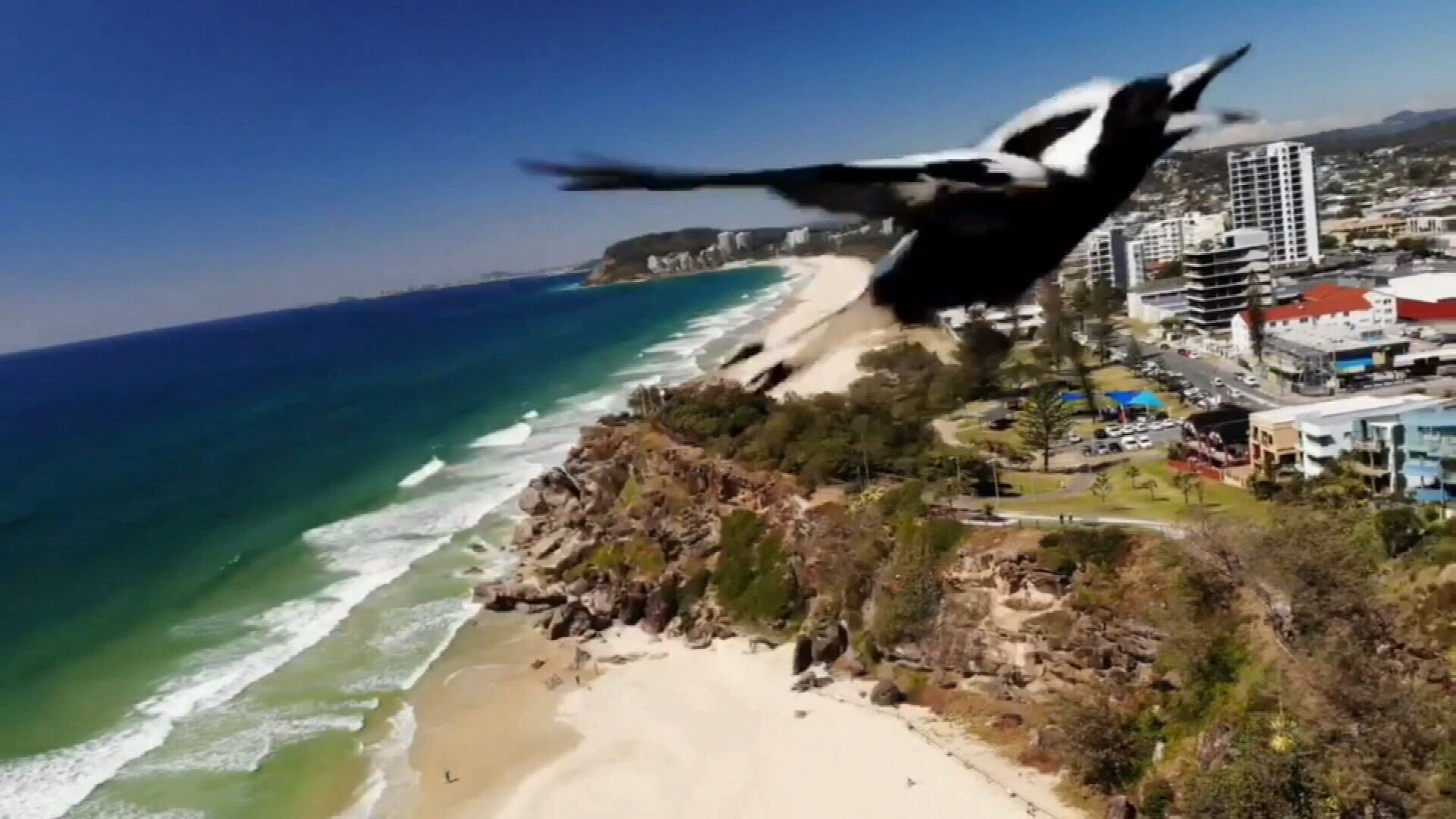 Drone camera captures magpie swooping at it