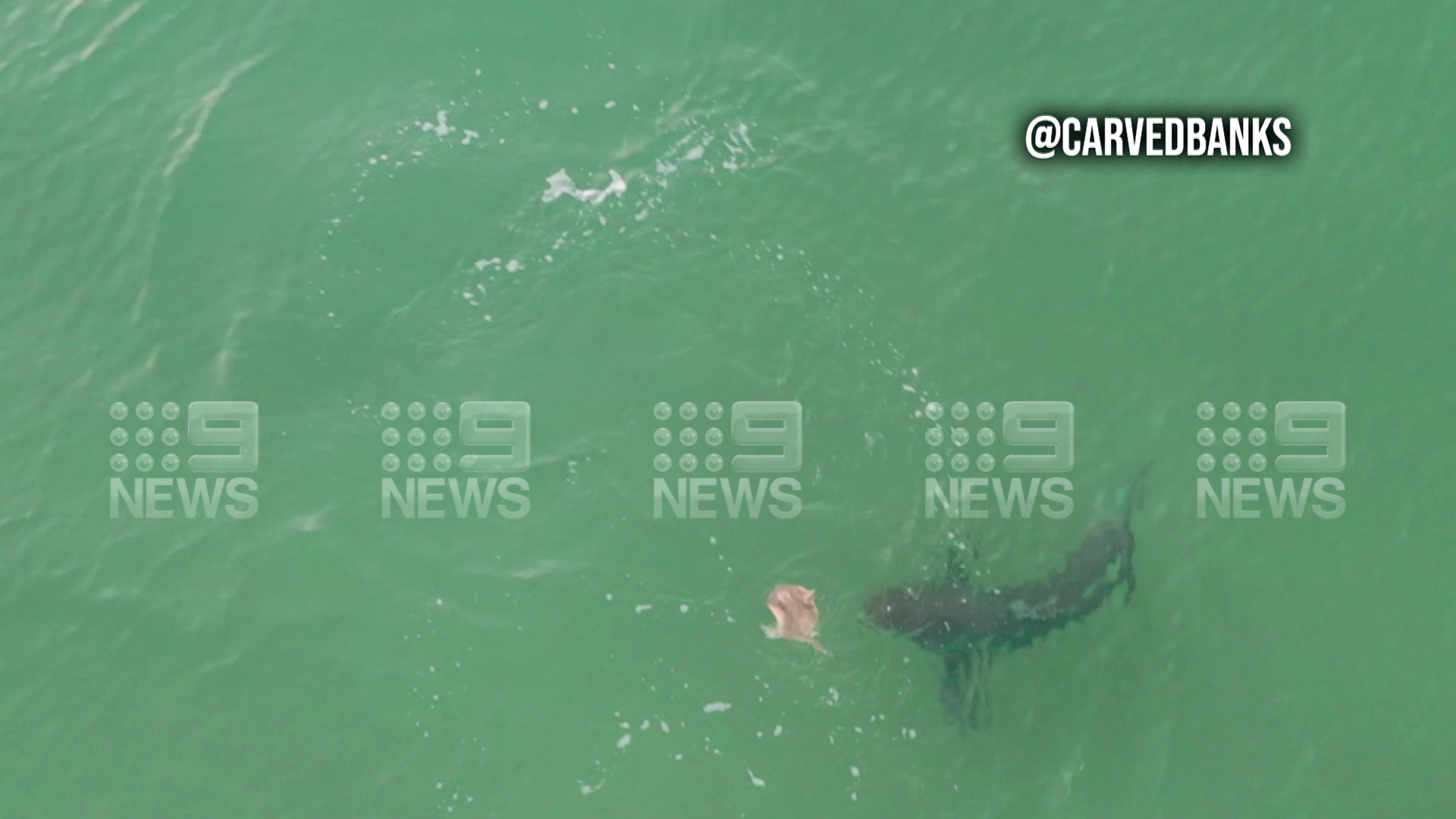 Great White Shark spotted hunting stingray
