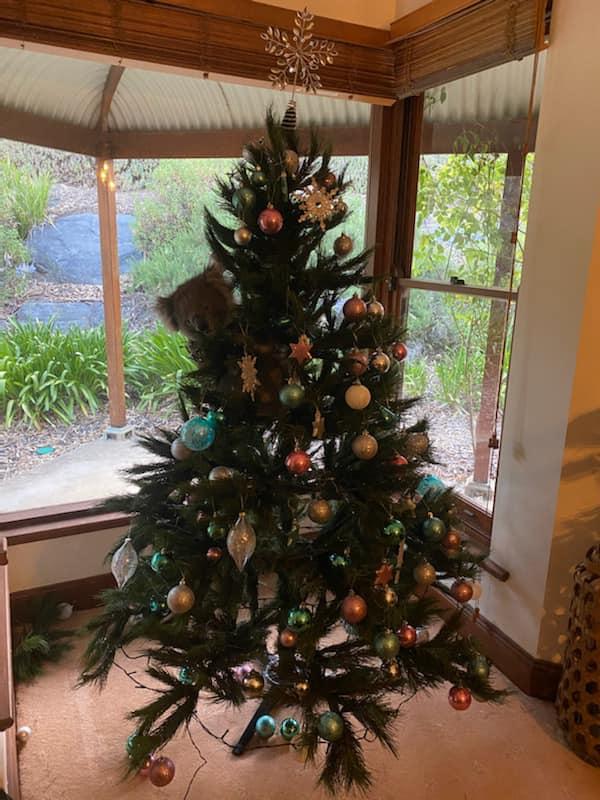 Koala makes itself at home in woman's Christmas tree